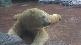 4k, Eisbär, der nach dem Mittagessen im Zoo stillsteht stock video footage
