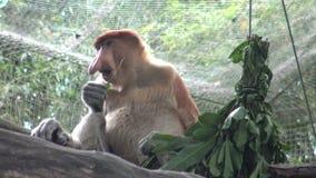 4k, el mono de probóscide está comiendo en un árbol del parque zoológico (el larvatus del Nasalis) almacen de metraje de vídeo