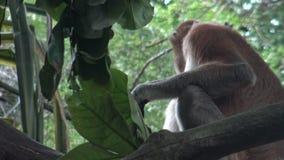 4k, el mono de probóscide está comiendo en un árbol del parque zoológico (el larvatus del Nasalis) metrajes