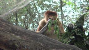 4k, el mono de probóscide está comiendo en un árbol del parque zoológico (el larvatus del Nasalis) almacen de video