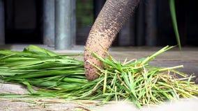 4 K, elefante senza zanna stanno mangiando l'erba Chiuda su dell'elefante asiatico mangiano video d archivio