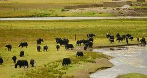 4k en flock av yak på prärien, flod som flödar till och med den Tibet grässlätten stock video