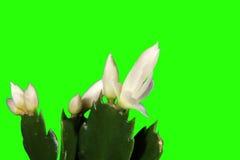 4K. Epiphytic Kaktus. Weiße Schlumbergerablumenknospen grünen Schirm, VOLLES HD. (Schlumbergera Bridgesii) stock video