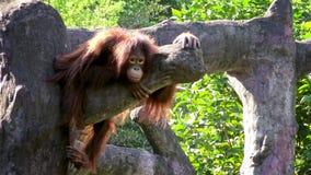 4K, erwachsener bornean Orang-Utan, der auf die Oberseite des Baums am Wald im Zoo stillsteht stock footage