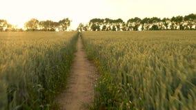 4K estabilizó el videoclip del POV del corredor que corría en la trayectoria a través del campo de las cosechas de la cebada o de almacen de metraje de vídeo
