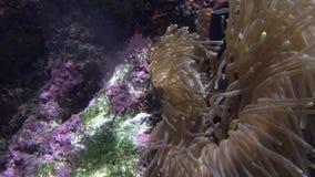 4k False clown anemonefish or nemo swim around an anemone in the Coral Reef. 4k, False clown anemonefish or nemo, view on the underwater an Amphiprion ocellaris stock footage