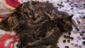 4K Familiegroep katjes met vader, ras die Maine Coon, op bed liggen Het rusten en het likken stock footage