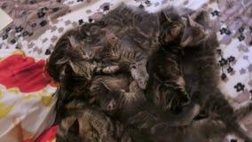 4K Familiegroep katjes met vader, ras die Maine Coon, op bed liggen Het rusten en het likken stock video