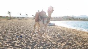 4k filtrant la vid?o de la belle position blanche de chameau sur la plage de mer chez l'Egypte Divertissement traditionnel sur la clips vidéos