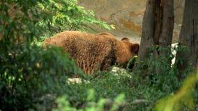 4K, fim acima de um urso de Brown selvagem que anda livre através das árvores na floresta video estoque