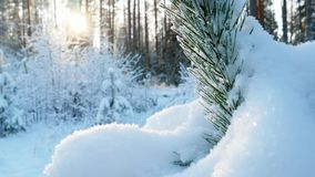 4K. Fir tree covered with snow under morning sunbeams. stock video footage