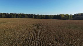 4K. Flight and takeoff above ripe corn field, which ready for harvesting, aerial. stock video