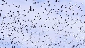4K Flock av fåglar, galanden som svärmer mot en blå himmel med moln stock video