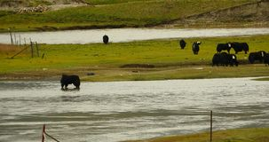 4k a flock of yak on the Prairie,River flowing through the tibet grassland. stock footage