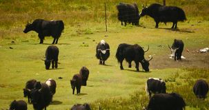4k a flock of yak on the Prairie,River flowing through the tibet grassland. stock video