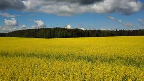 4K Flug und Start über blühendem gelbem Rapssamenfeld am sonnigen Tag, Luftpanoramablick stock video footage