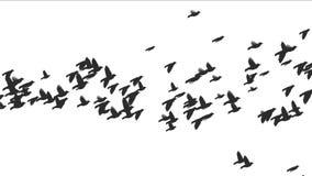 4k Flying birds silhouette. stock footage