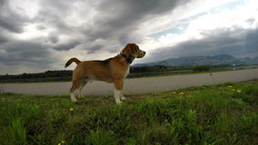 4k Footage: beagle on the daily walk looking for adventures stock video