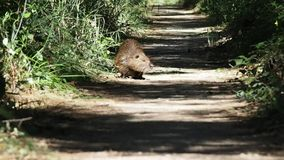 Beaver walking on a trail in 4k. 4k footage of a beaver walking a path through the trees. We are near a pond in a warm, sunny, but windy, August morning stock video footage