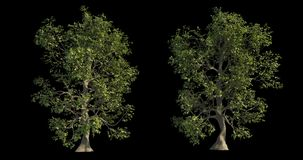 4k footage collection of windy tree for architectural visualization with cutout mask stock video