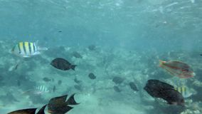 4k footage of coral fishes swimming around dead coral at red sea. 4k video of coral fishes swimming around dead coral at red sea stock video footage