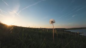 Fluffy White Dandelion Head and Seeds in a field taken during a beautiful spring sunset stock video