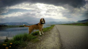 4K Footage of a funny beagle standing at the edge of the lake shot with travelling camera stock video