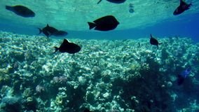 4k video of swimming above colorful corals and schools of fishes in the Red sea in Egypt. 4k footage of swimming above colorful corals and schools of fishes in stock video footage