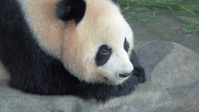 Close-up of resting giant panda bear, panda sleeps on the stone at zoo on hot day