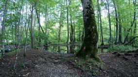 4K Foresta degli alberi alti nei laghi parco nazionale, Croazia Plitvice stock footage
