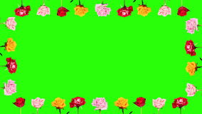 4K. Frame of blooming roses time-lapse with green screen, Ultra HD Stock Photos