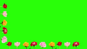 4K. Frame of blooming roses time-lapse with green screen, Ultra HD Royalty Free Stock Photos