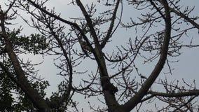 4k, funcionamiento de la ardilla de Pallas y juego en la cima del árbol almacen de video