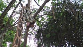 4k, gebruikte de giraf de lange tong voor eet van een doos met voedsel in de dierentuin stock videobeelden