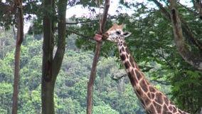 4k, gebruikte de giraf de lange tong voor eet van een doos met voedsel in de dierentuin stock footage