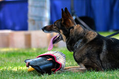 K9 German Shepherd Stock Photos