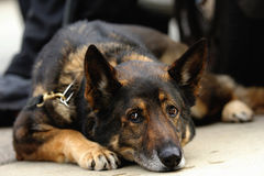 K9 German Shepherd Stock Image