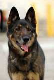 K9 German Shepherd Royalty Free Stock Photo