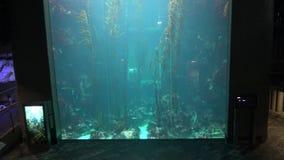 4k Gigantycznego kelp lasowy podwodny w akwarium Tajwan (Macrocystis pyrifera) zdjęcie wideo