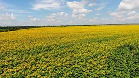 4K girasoli di fioritura su un volo del fondo del cielo sopra il girasole stock footage