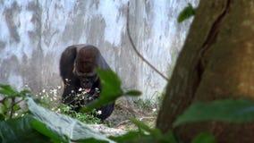 4K, gorille de montagne mangeant avec la main une certaine herbe dans les singes herbivores de forêt banque de vidéos