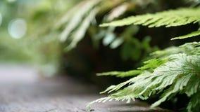 4K grüner Farn lässt Einfluss vom Wind mit grünem Baumhintergrund und bokeh Licht und Bretterboden Grüner natürlicher Hintergrund stock video footage