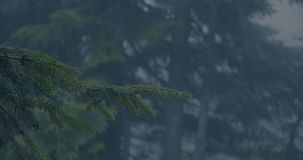4k - Green twig of a fir tree in a dark forest in slow motion during rain. stock video