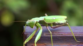 4K Groene Bidsprinkhanen Het insect loopt Bladeren en vegetatie stock video