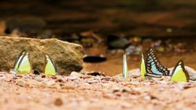 4K. group of colorful butterflies moving butterfly wings on the ground and flying in nature near the river, selective focus.  stock video