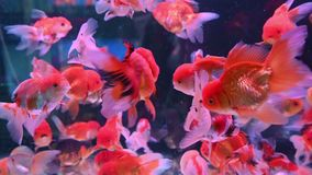 4K Group of goldfish swim in glass fish tank