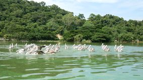 4K. group of pelicans bird fly over the lake to catch some fish for food. Pelican bird wildlife stock footage