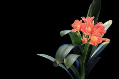 4K. Growth of Clivia flower buds ALPHA matte Royalty Free Stock Image