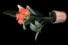 4K. Growth of Clivia flower buds ALPHA matte Royalty Free Stock Photo