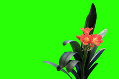 4K. Growth of Clivia flower buds green screen Stock Image